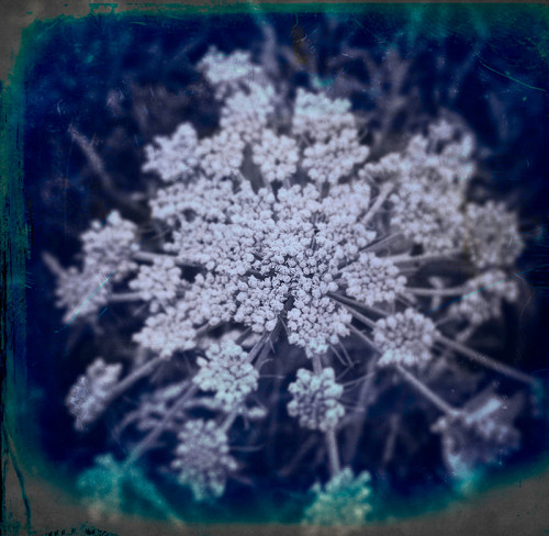 Nightflowering